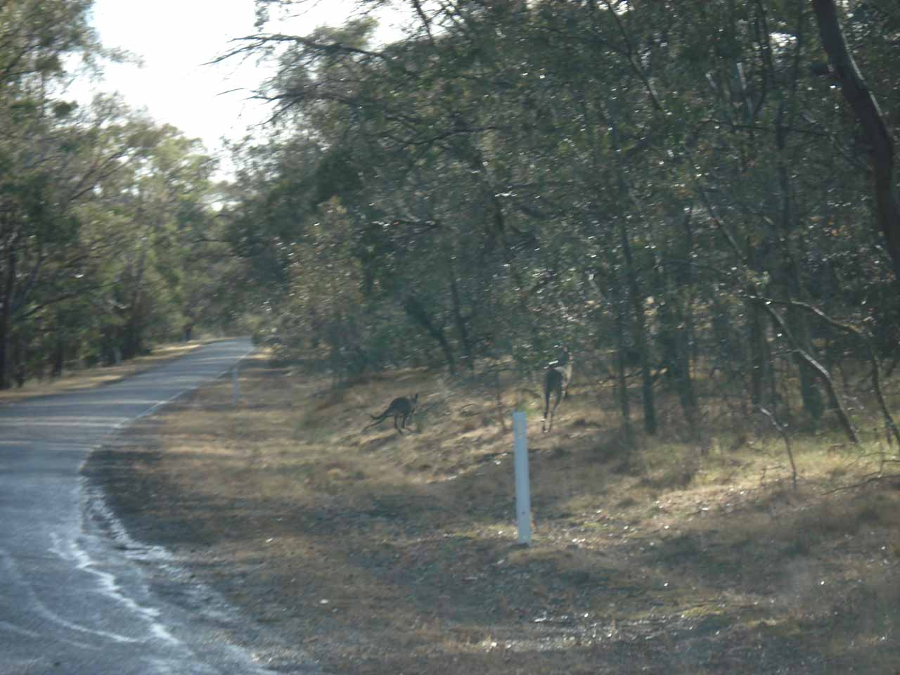 A couple more kangaroos leaving the road as we were driving by
