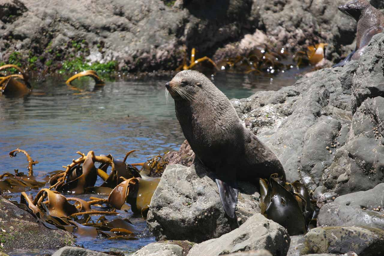 Near where the Ohau Stream emptied into the Pacific, we noticed this particular New Zealand fur seal was keeping a watchful eye on people appearing to get too close to it and its pup
