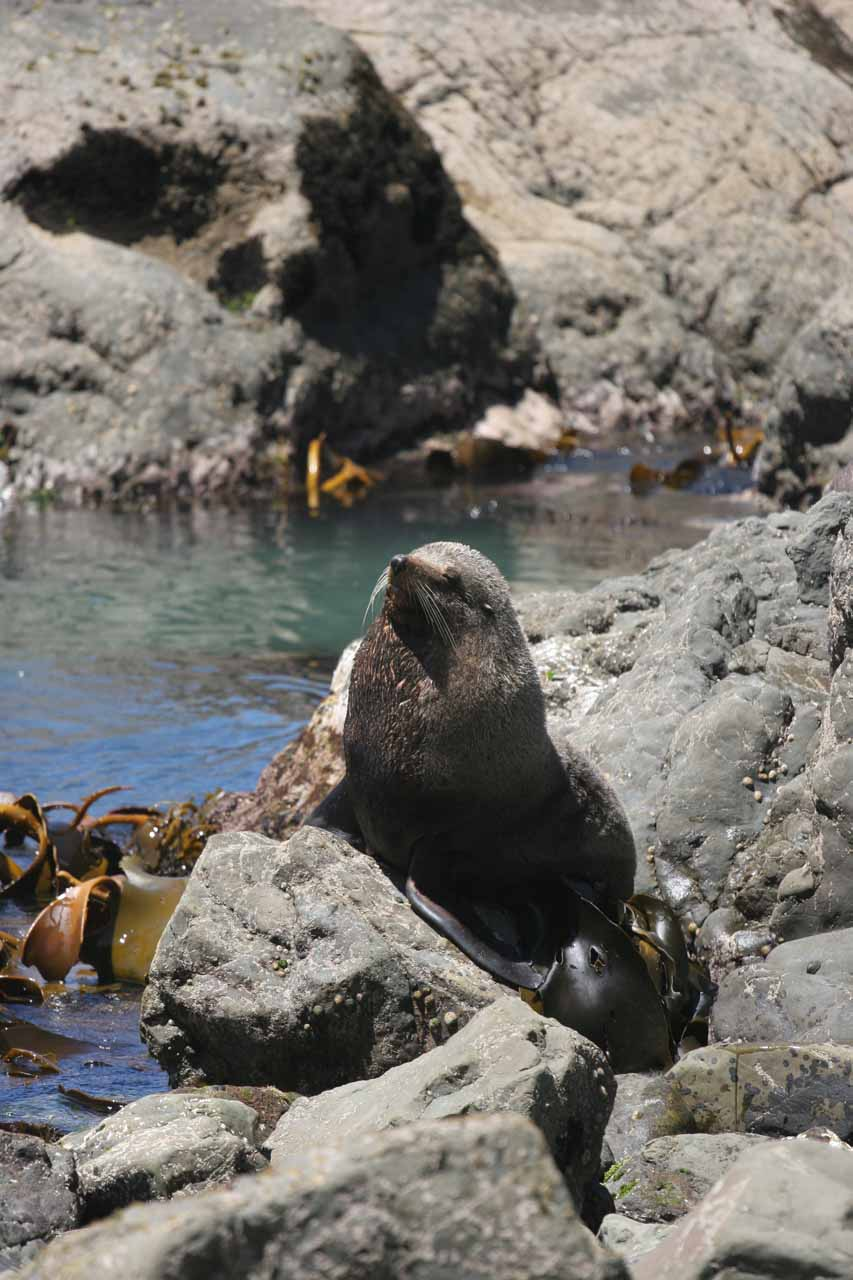 One of the New Zealand fur seals that we saw after finishing our waterfall hike