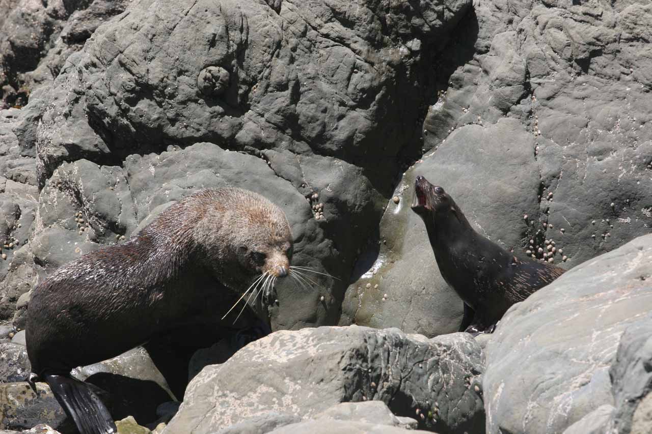 A New Zealand fur seal tending to its pup