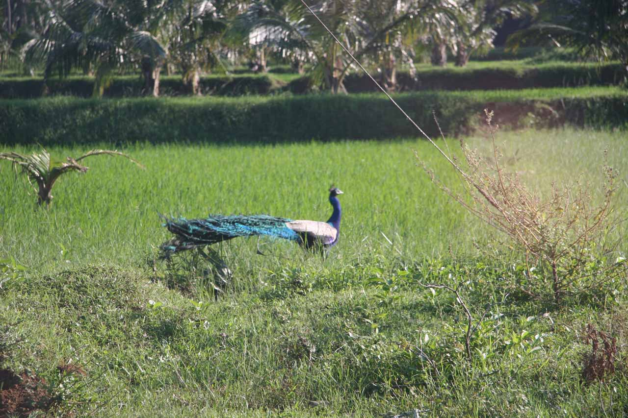 Peacock grazing in a grassy area on the way to Old Courtallam Falls