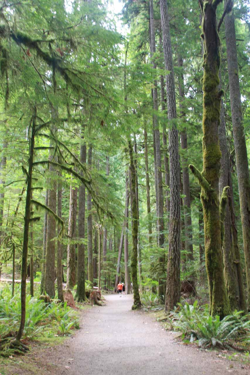 The trail flanked by tall trees