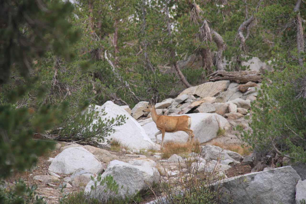 A deer prancing away from us