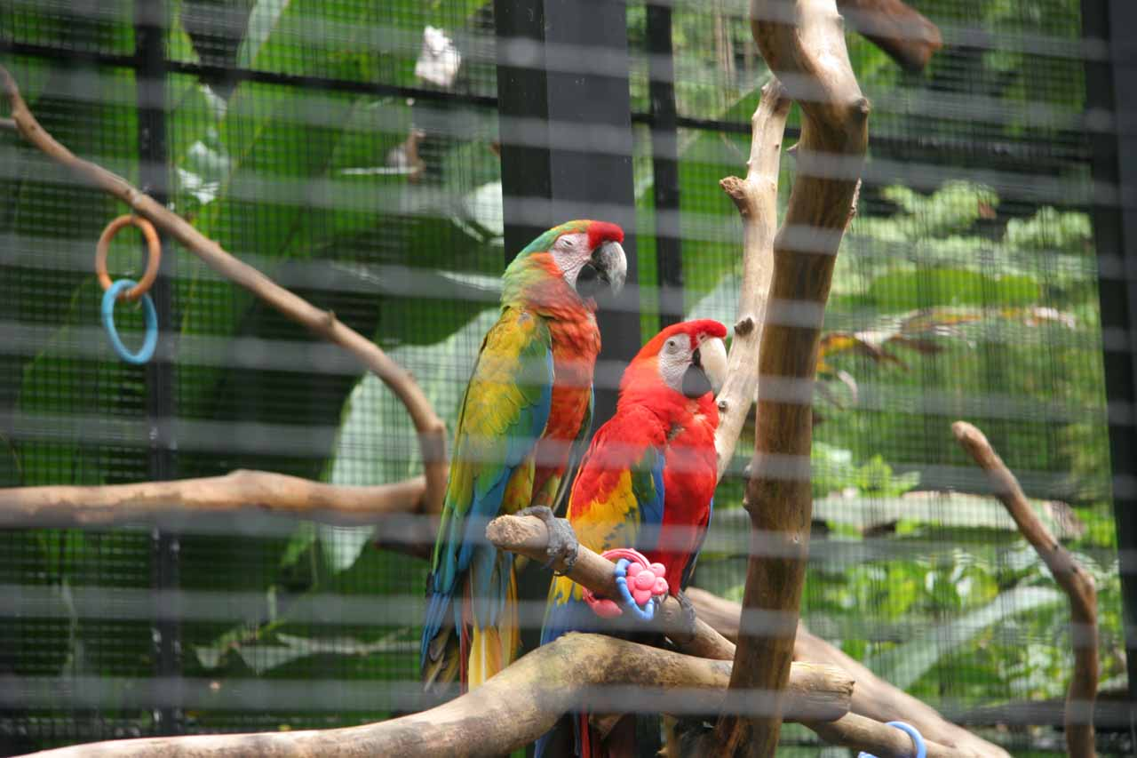 A couple of colorful captive exotic birds