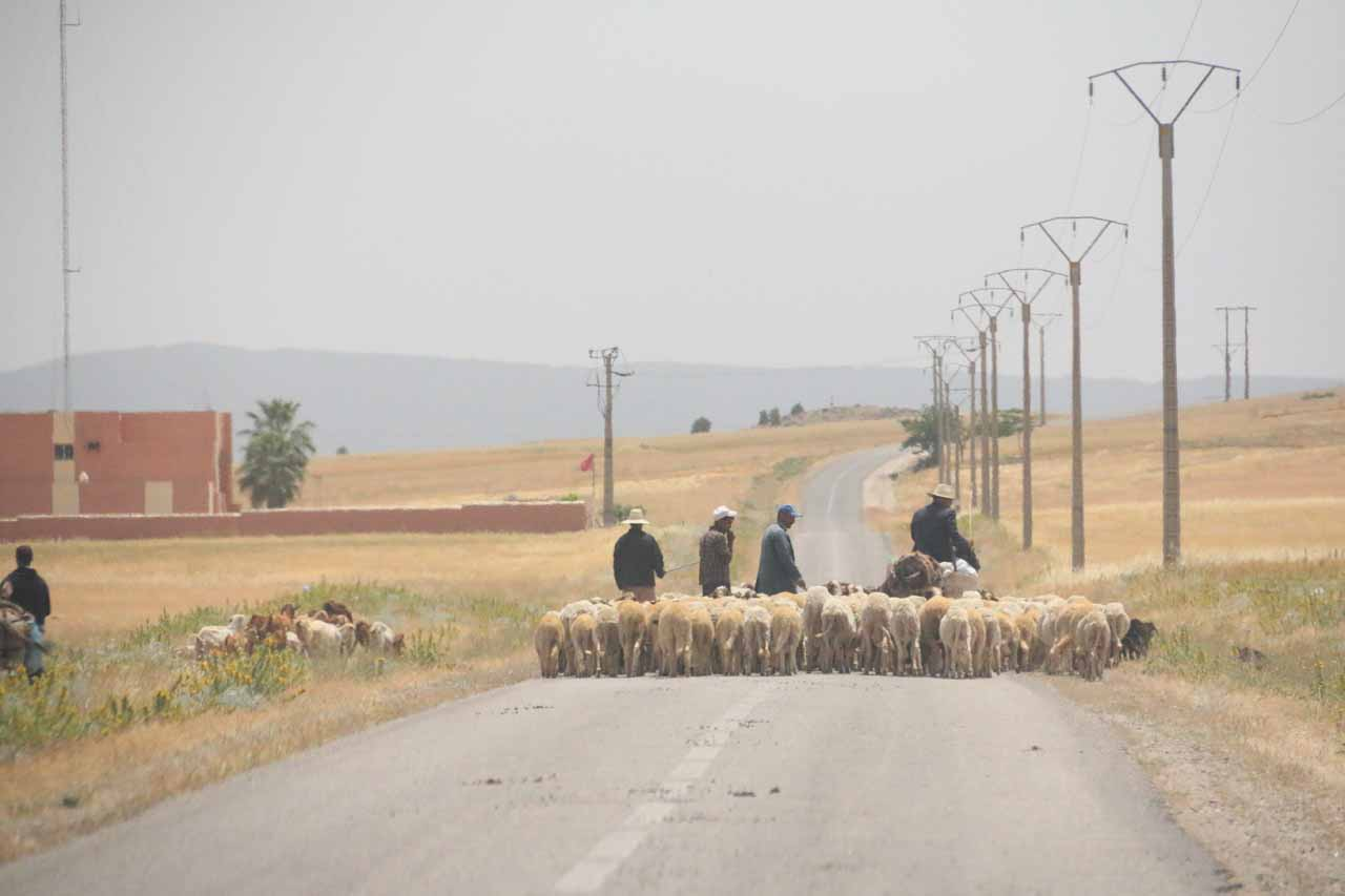 On the road to Oum-er-Rbia with a sheep jam in front