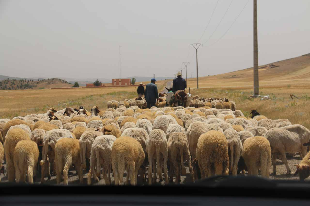 Because the Sources Oum er'Rbia was a bit out of the way in rural Morocco, it wasn't surprising to encounter sheep jams like this on the way there