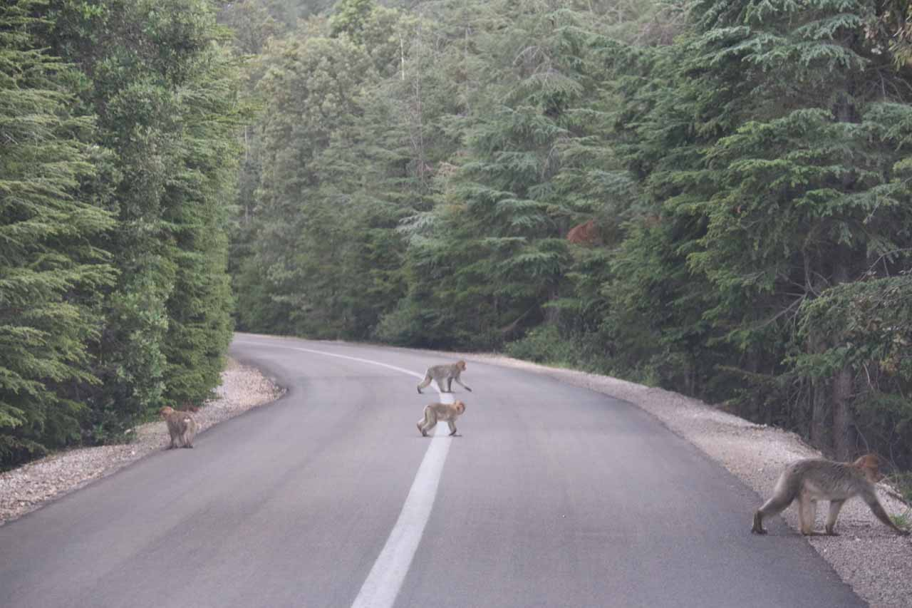 Monkeys crossing the road in the forest between Oum-er-Rbia and Ifrane