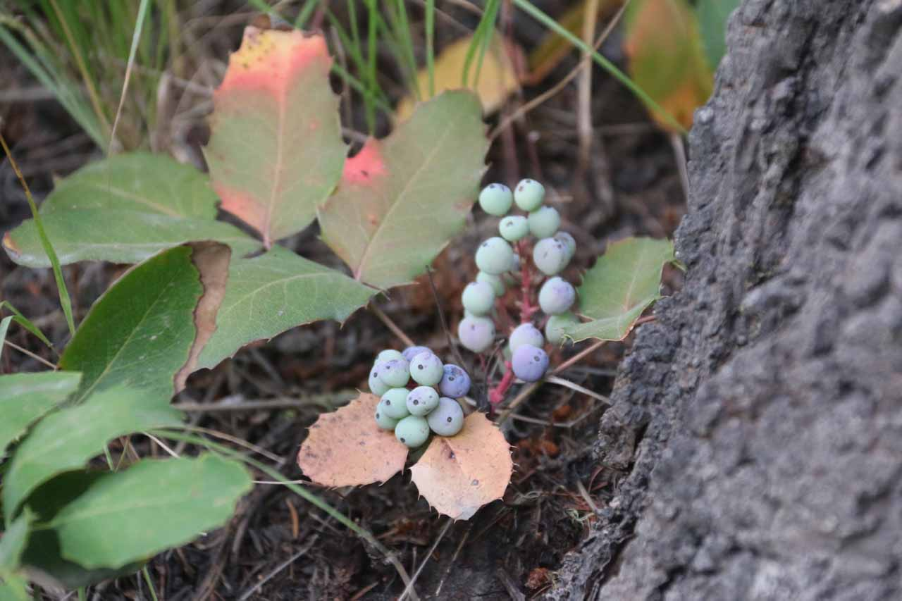 I noticed these berries along the trail, which was probably a reason why grizzly bears could be foraging the area looking to fatten up