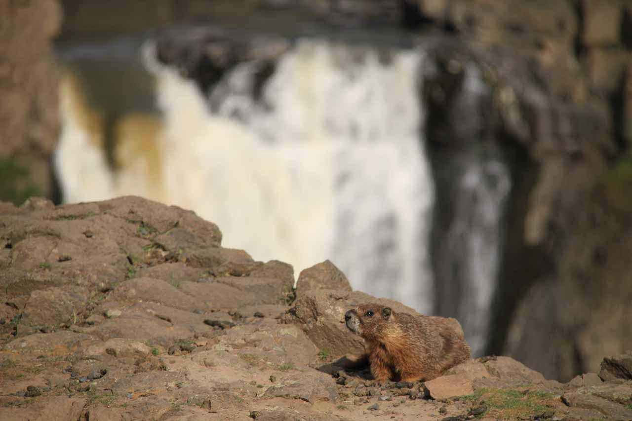 Marmot at the Palouse Falls