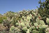 Paradise_Falls_201_03242019 - Looking up at another grove of flowering cacti along the Moonridge Trail in March 2019