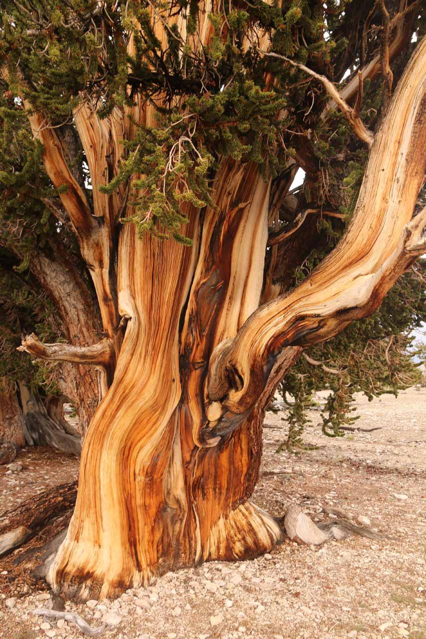 Closer look at the beautiful bark of an ancient bristlecone pine tree