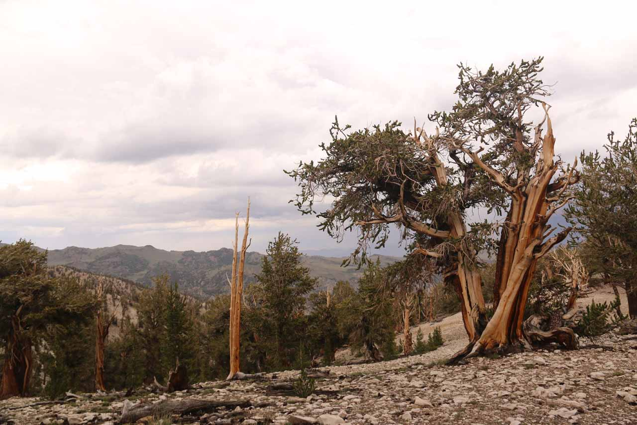Looking towards some picturesque ancient bristlecone pine trees towards some panorama of other groves further in the Telescope Range