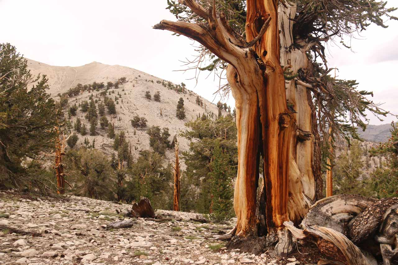 Gorgeous bark from one of the ancient bristlecone pine trees towards the landscape beyond in the Ancient Bristlecone Pine Forest