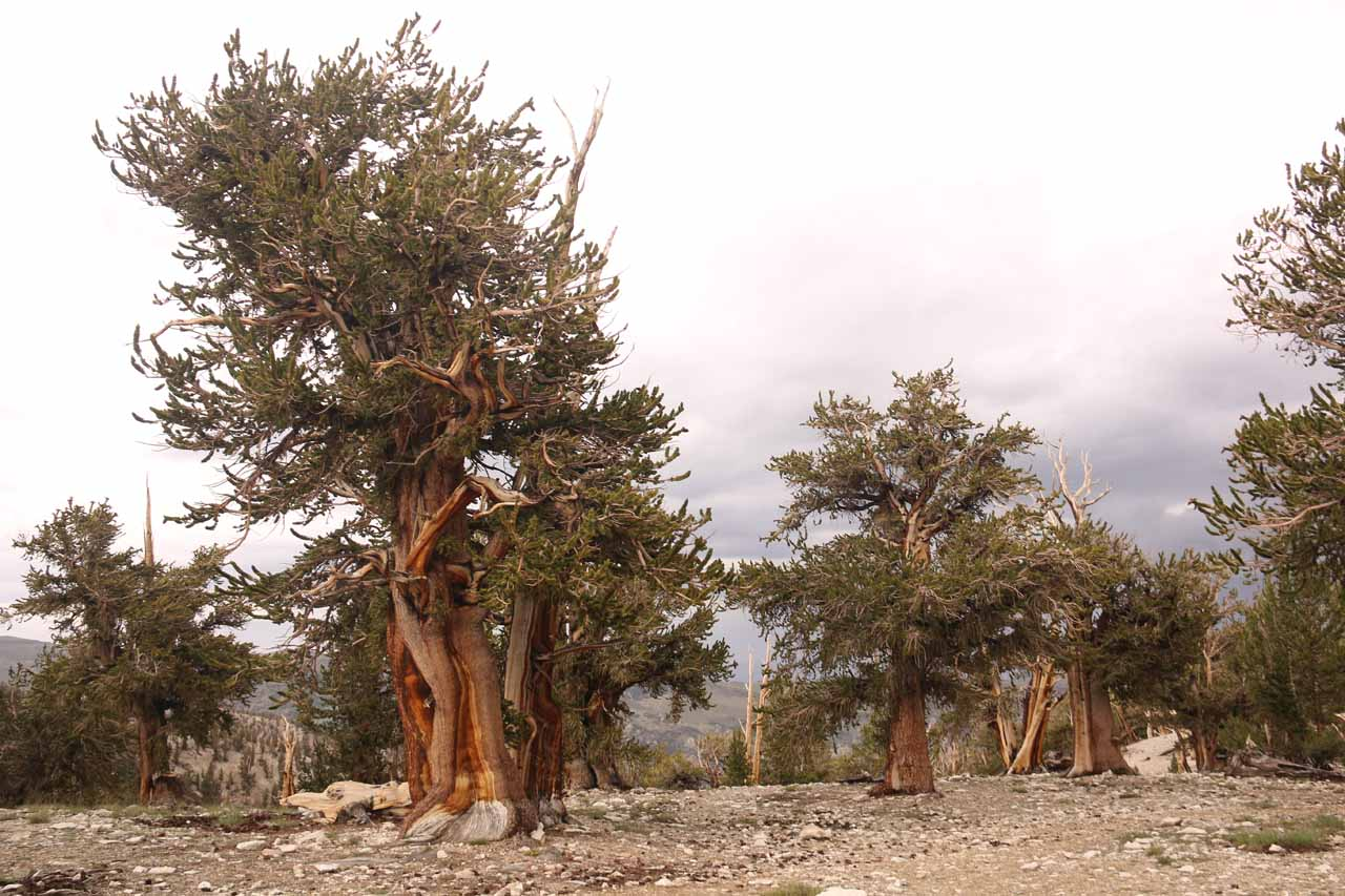 Context of ancient bristlecone pine trees in the Ancient Bristlecone Pine Forest
