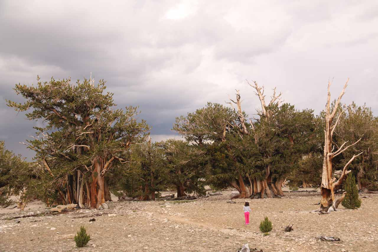 Tahia exploring a little bit of the Patriarch Grove of the Ancient Bristlecone Pine Forest while dark clouds were looming above