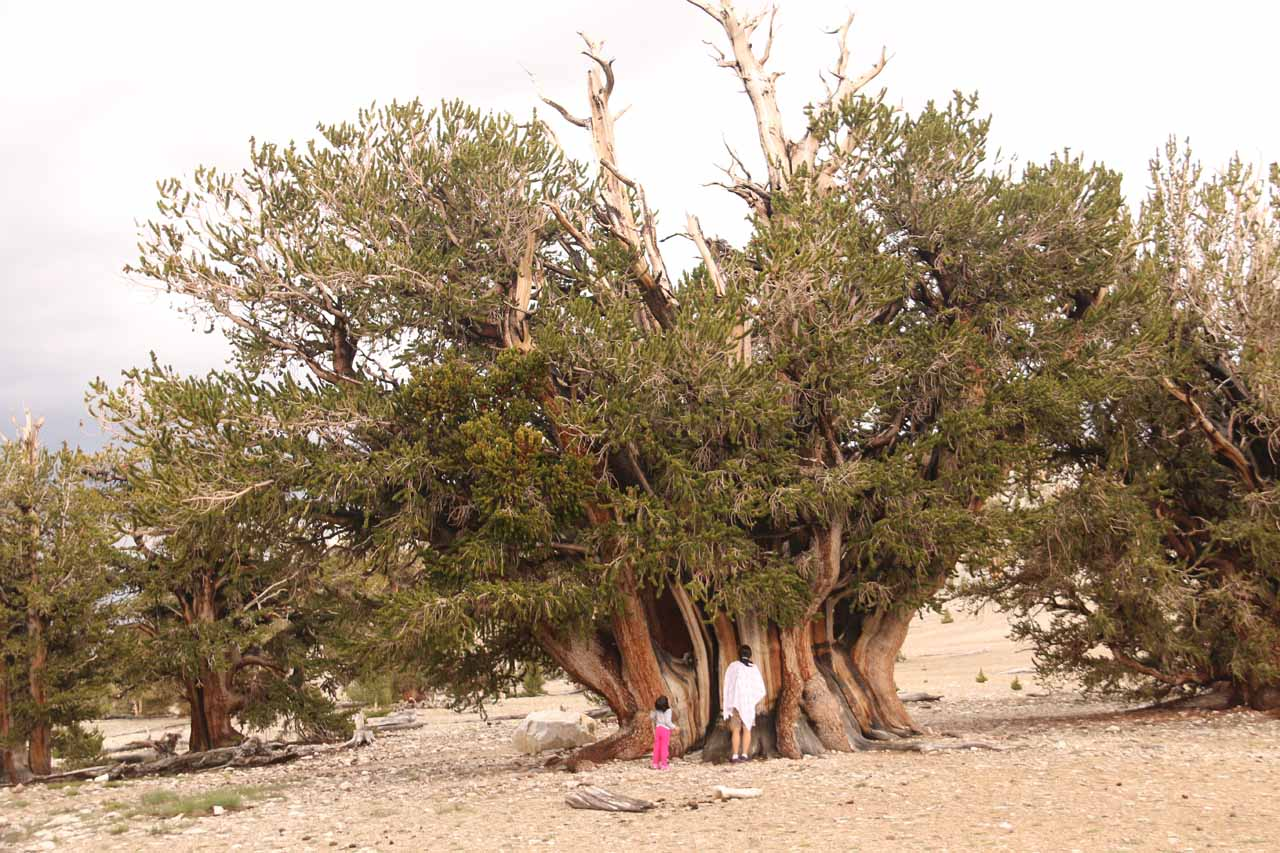 Julie and Tahia checking out the Patriarch Tree in the Ancient Bristlecone Pine Forest