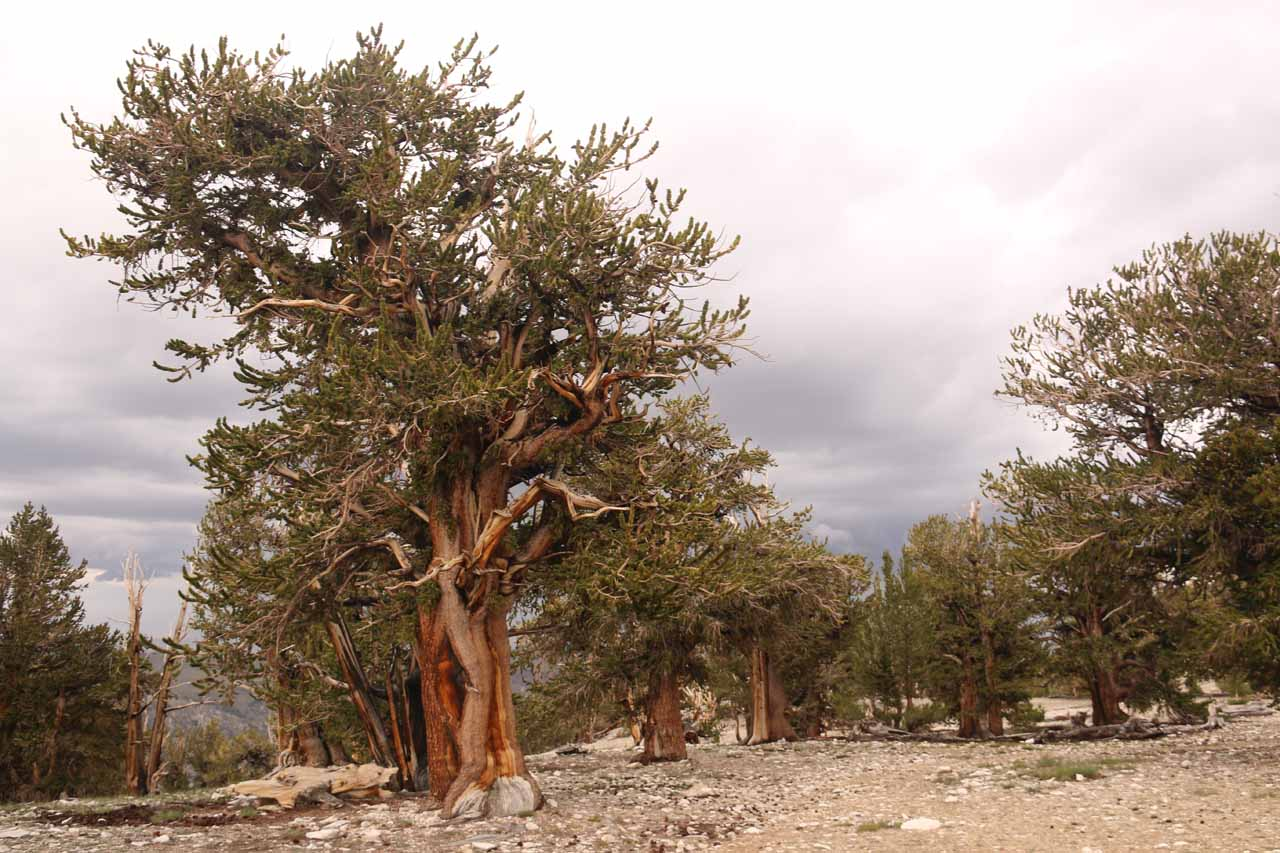 Another contextual look at a series of ancient bristlecone pine trees