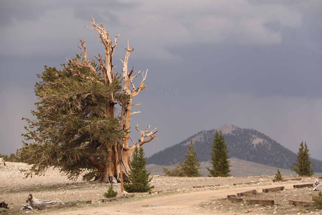 Contextual view of an ancient bristlecone pine tree with mountains in the background all under some menacingly dark clouds seen from within the Patriarch Grove of the Ancient Bristlecone Pine Forest
