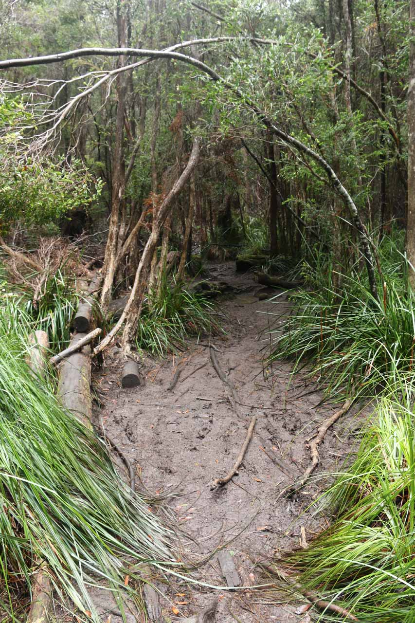A muddy section of the Pelverata Falls Track thanks to the rains prior to my second visit