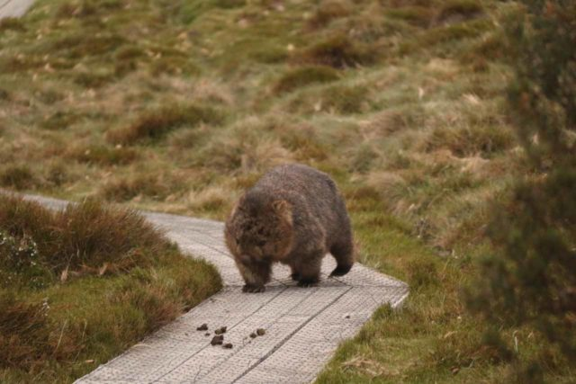 Pencil_Pine_Knyvet_Falls_102_11302017 - A wombat using the boardwalk as it went grazing in the buttongrass surrounding the Pencil Pine Falls Track