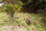 Peppers_Cradle_Mtn_Lodge_034_11292017 - A wombat grazing next to a flowery tree and one of the cabins at the Pepper's Cradle Mountain Lodge