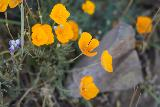 Phantom_Falls_021_04092021 - Close-up look at some of the wildflowers (I think they're California poppies) along the Phantom Falls Trail
