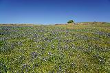 Phantom_Falls_026_04092021 - Looking over some purple wildflowers towards a lone tree in the distance in a scene that reminds me a lot of Toscana