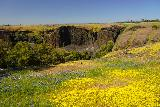 Phantom_Falls_090_04092021 - Looking over another mat of yellow and purple wildflowers towards the head of Coal Canyon, which is where the Phantom Falls dropped into