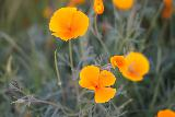 Phantom_Falls_271_04092021 - Closeup look at some California poppies as I was returning to the ravine containing the Ravine Falls