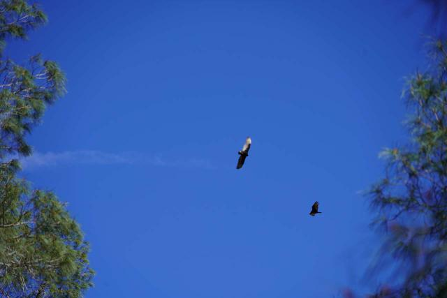This photo focused on a rare California condor in Pinnacles National Park using the maximum zoom on the Sony FE24240 lens, but notice the resolution drop-off towards the corners