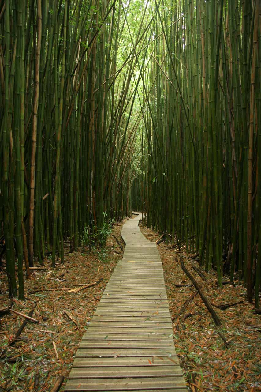 Boardwalk through the eerie bamboo forest