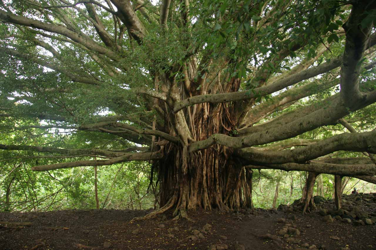 The familiar banyan tree