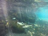 Piula_Cave_Pool_002_goPro_11132019 - Closeup of some of the fish in the Piula Cave Pool
