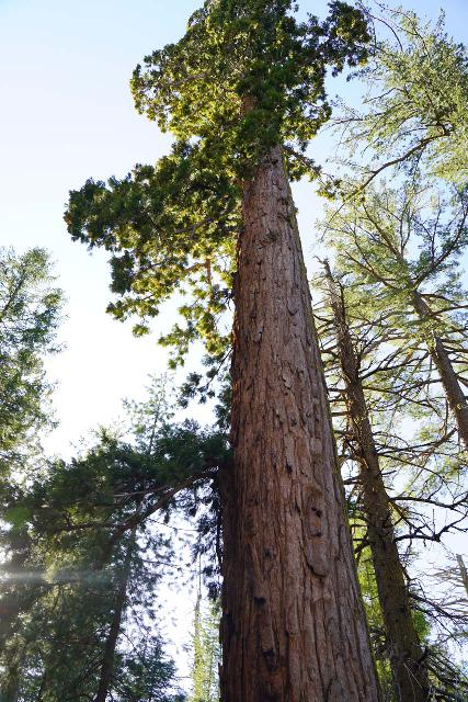 Placer_County_Big_Trees_041_04102021 - Nearby Grouse Falls was the Placer County Big Trees Trail, which featured the northernmost redwood grove in the world (let alone California)