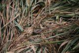 Plitvice_368_06012010 - Snake resting on the reeds