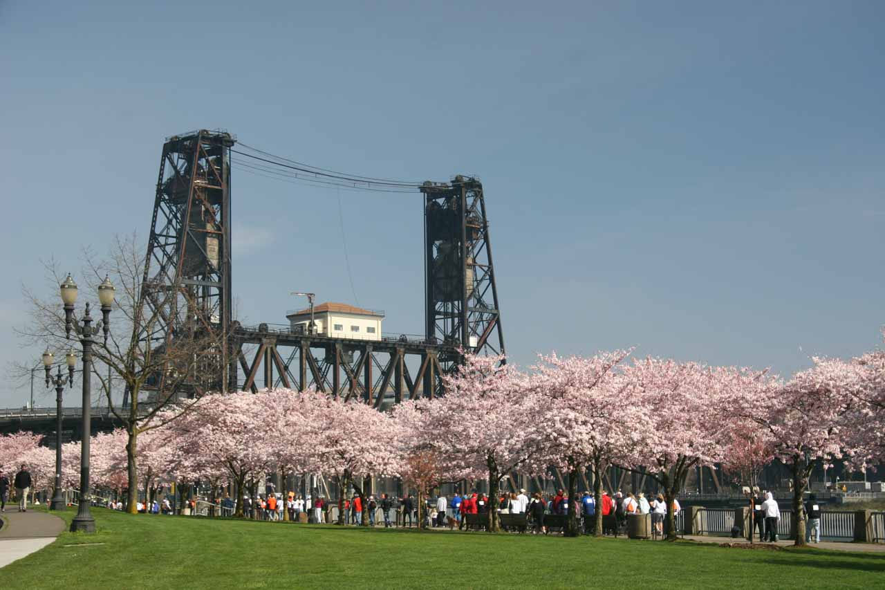 Cherry blossoms before a bridge towering over the Willamette River