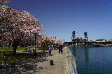 Portland_133_04062021 - Approaching the Steel Bridge from the Willamette Greenway Trail flanked by cherry blossoms and the Willamette River by the Friendship Circle in downtown Portland