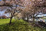 Portland_176_04062021 - Another look through the row of cherry blossoms near the Friendship Circle in downtown Portland