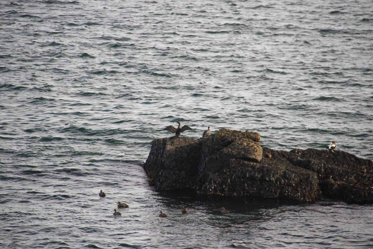 What appeared to be a cormorant at the Portland Head Lighthouse