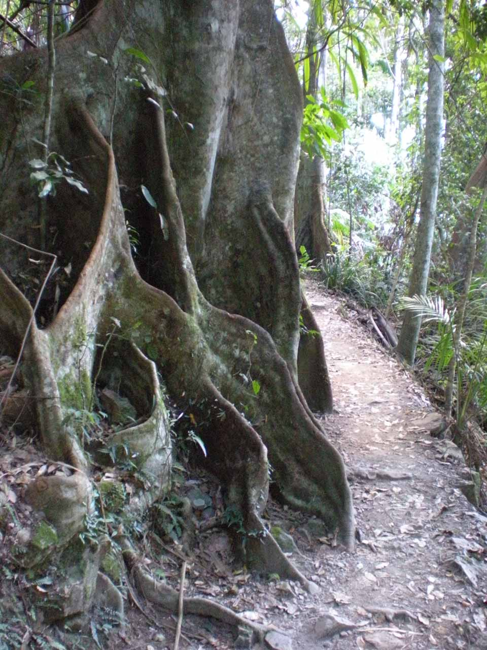 Walking besides some interesting fig trees within the rainforest as we made our way to the base of Purling Brook Falls