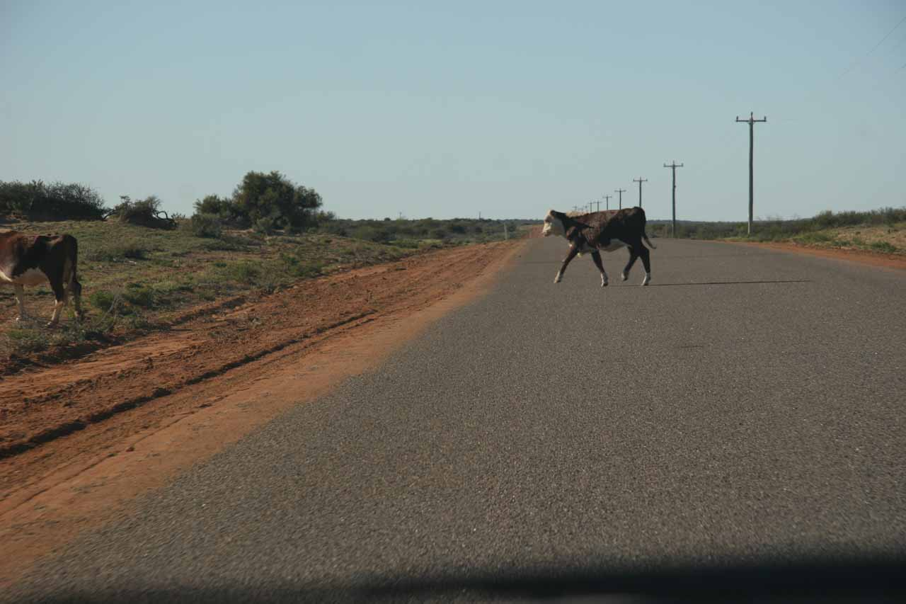 Cattle crossing on the road