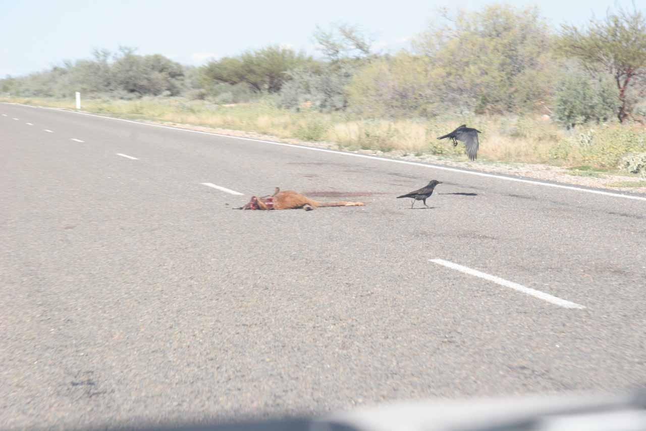 More birds picking at roadkill