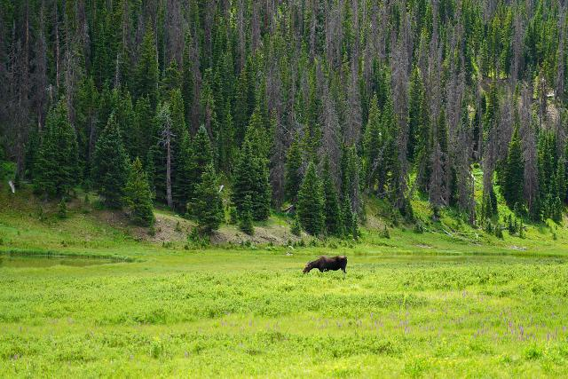 Having the camera ready was very important to take fleeting moments like this grazing moose in Rocky Mountain National Park