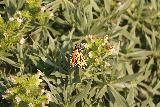 Ragged_Point_177_11172018 - Checking out what appeared to be a monarch butterfly at the Ragged Point Inn