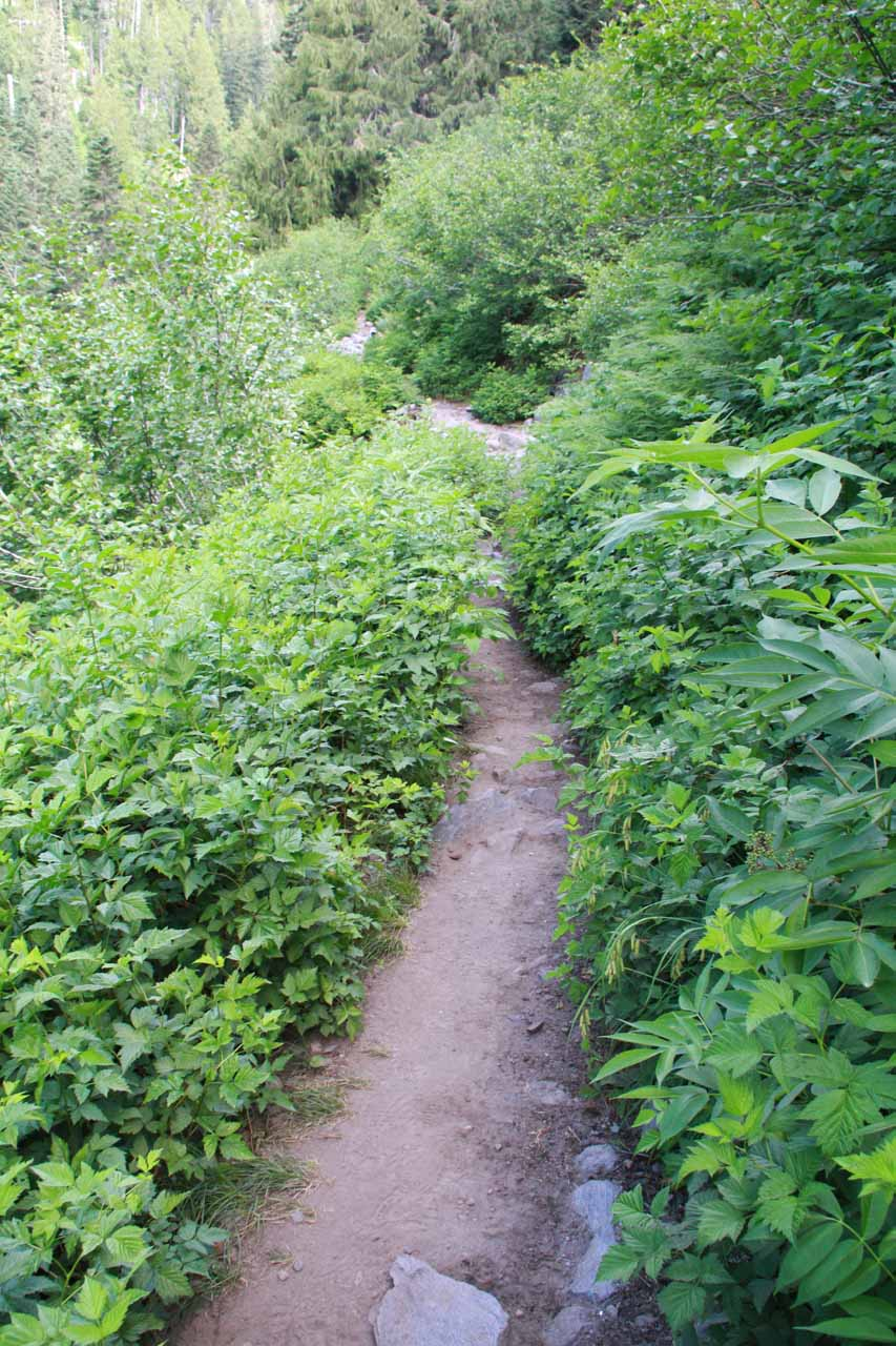 Traversing an overgrown part of the trail