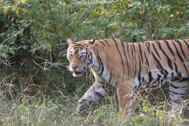 Maintaining a safe distance while capturing the face of this tiger in India using my DSLR camera combined with telephoto lens