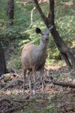 Ranthambore_053_11062009 - A deer in Ranthambore