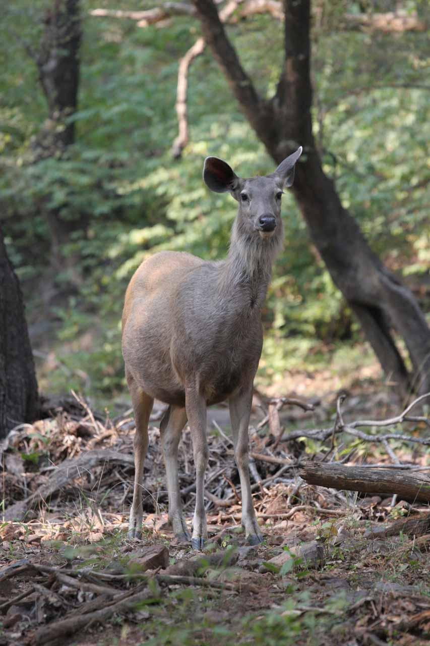 A deer in Ranthambore