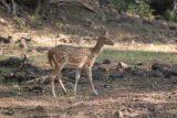Ranthambore_067_11062009 - Spotted deer