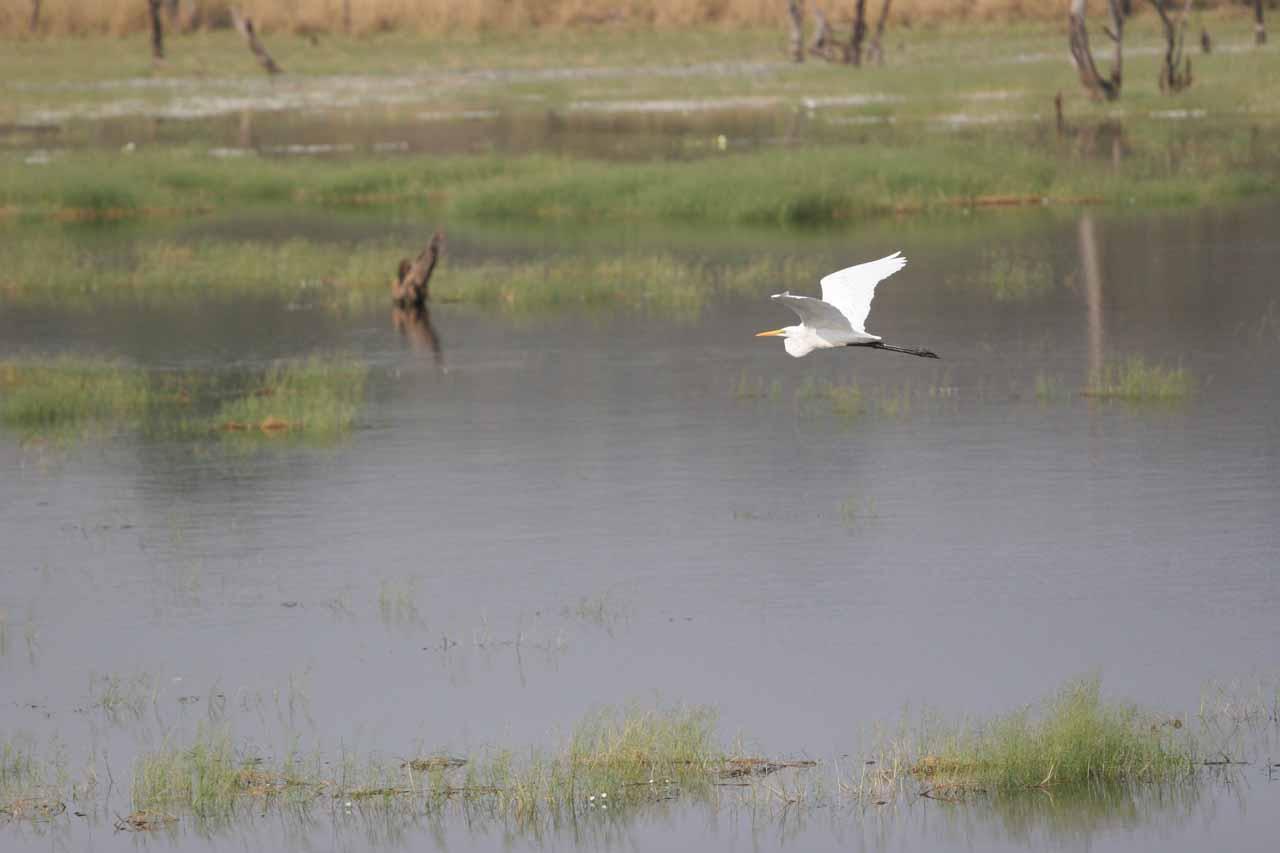 Flying egret over the lake
